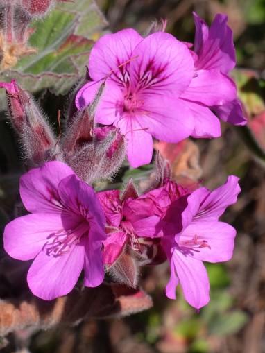 Pelargonium cucullatum