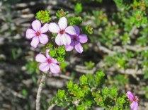 An endemic Buchu