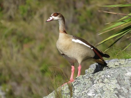 Egyptian Goose impersonating an eagle!