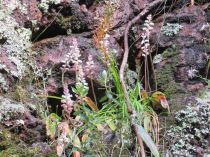 Lachenalia peersii at the waterfall