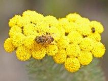 Athanasia with pollinator