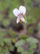 Pelargonium sp.