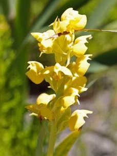 Pterygodium acutifolium