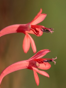 Watsonia sp.