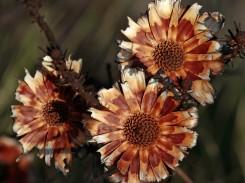 Burnt proteas
