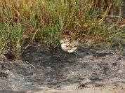 Kitlitz Plover chick