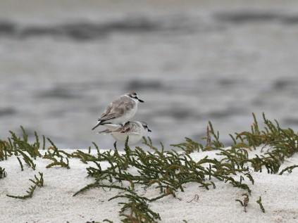 White-fronted Plovers doing what comes naturally