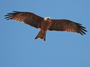 A vociferous Yellow-billed Kite