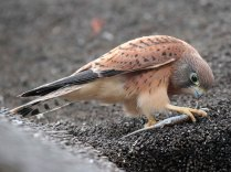 Juvenile Rock Kestrel with prey