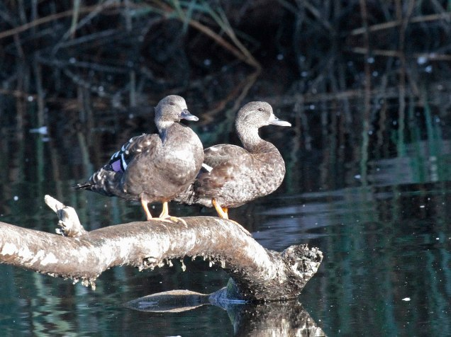 African Black Ducks
