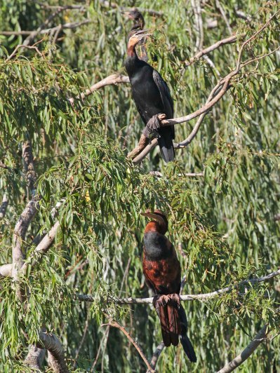 Male and female African Darters