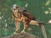 Juvenile Cape Buzzard