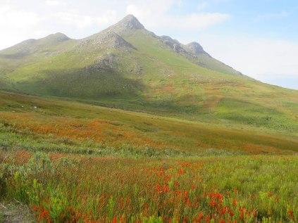 A field of Erica pillansii