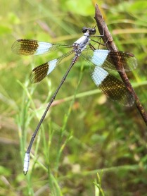 The beautiful Damselfly that lured Sandy into the water!!