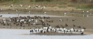 Sacred Ibis, Yellow-billed Ducks and Blacksmith Lapwings (and the inevitable Egyptian Goose)