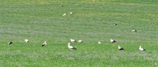 Part of the large flock of White Storks