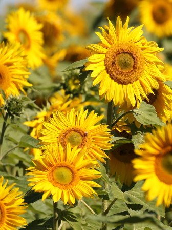 Sunflowers in the Free State