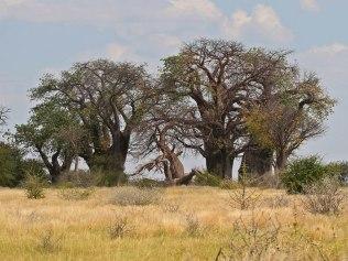 Bain's Baobabs