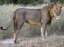 A large lion