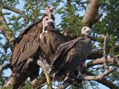 Hooded Vultures
