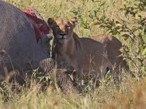 Lioness and elephant carcass