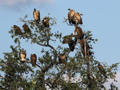 Roosting Vultures
