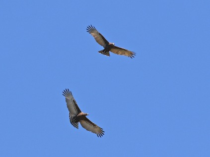 A pair of Brown Snake Eagles