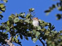 Stierling's Wren-Warbler