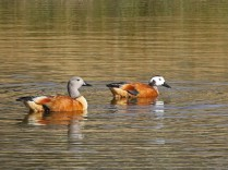 African Shellducks