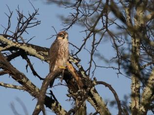 Juvenile Lanner Falcon