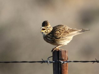 Large-billed Lark at the roadside