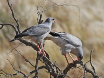 A pair of Pale Chanting Goshawks