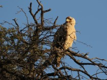 Young Tawny Eagle