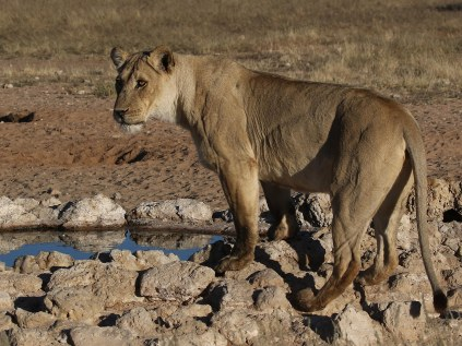 Lioness at the waterhole