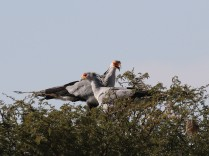 Secretarybirds building a nest