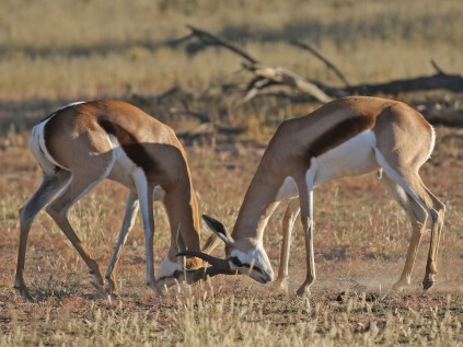 Springbok letting off steam