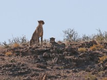 Cheetahs looking out over the river valley