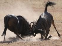 Wildebeest scrumming