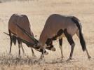 Gemsbok sparring