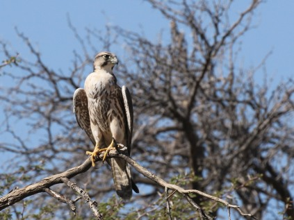Lanner Falcon with full crop