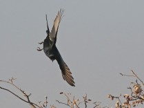 Fork-tailed Drongo doing aerobatics