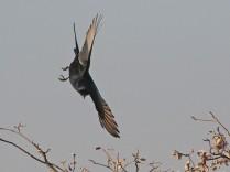 Fork-tailed Drongo doing aerobatics