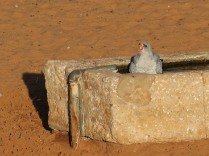 Pale Chanting Goshawk singing in his bath