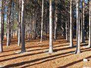 A Pine plantation
