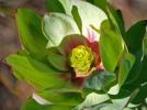 Leucodendron tinctum