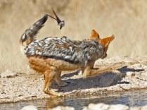 Jackal chasing Namaqua Doves