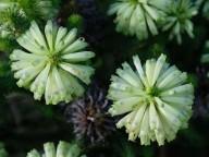 Erica sessiliflora