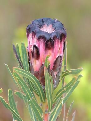 A bedraggled Protea lepidocarpodendron