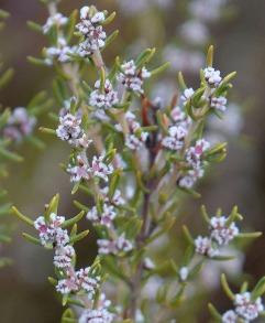 Grubbia rosmarinifolia