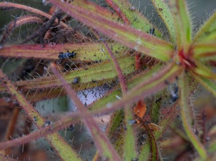 Roridula gorgonias with its catch